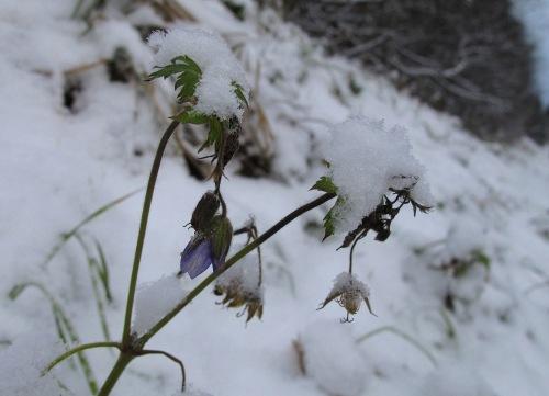 Skogstorkenebb-blomst-snø-red